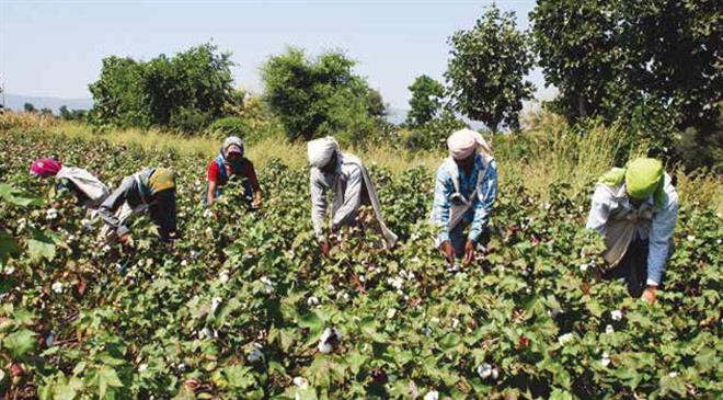 What are the criteria used to classify cotton as organic internationally?