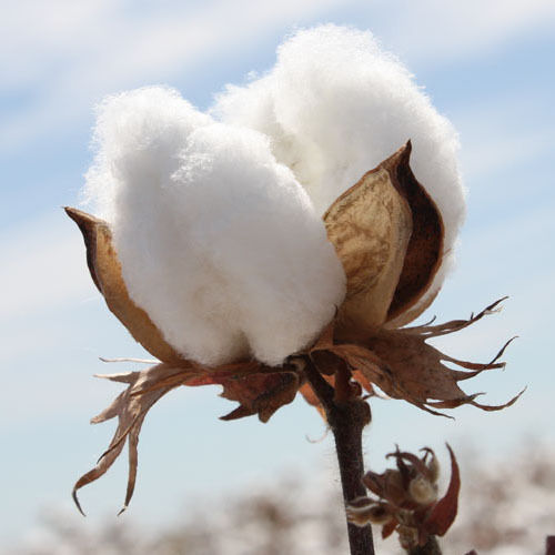 Raw Cotton Fibre Suppliers - Wholesale Manufacturers and