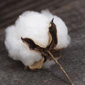Raw Cotton Fiber Exporter India
