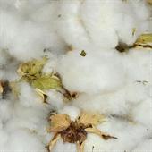 Natural Cotton Fibre Manufacturer