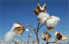 Increased supply may bring down cotton prices: ICAC