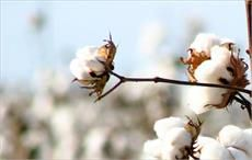 Strong demand pushes up cotton prices in Pakistan
