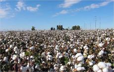 Oklahoma 4th-leading cotton producer in US: NASS statistics