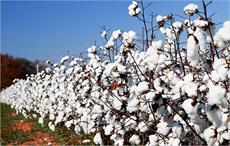 India's cotton output projected at 377 lakh bales