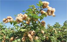 Angola to re-launch cotton production in Malanje