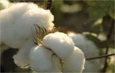 Pink bollworm attack cotton crop in India's Maharashtra