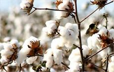 Brazilian cotton price index returns to April 2018 level