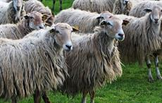 New Zealand bans sheep mulesing