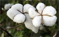 Cotton arrival at Pakistan ginneries cross 10 mn bales