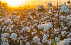 Flax touted as cotton substitute for Belarus, Russia