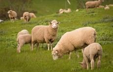 Australian wool auctions indicate strong but flat market