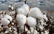 CCI aims to boost cotton exports to Bangladesh, Vietnam
