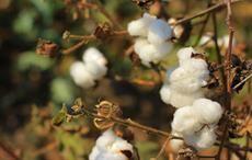 CAI raises 2019-20 cotton estimate to 335 lakh bales