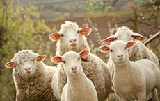 Prices dip as Australian wool auctions re-commence