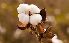 Cotton arrival at Pak ginneries down 34.12% as on Jan 15