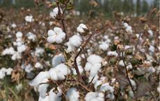 Maharashtra govt guarantor of ₹1500-cr loan of cotton body