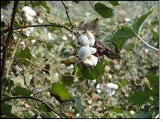 Increased demand of cotton in Far East