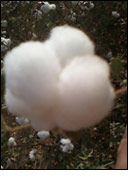 Cotton exports from Egypt's Alexandria decline