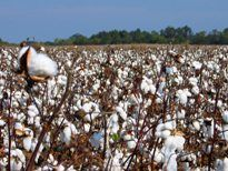 Bearish USDA WASDE report pulls down NY cotton futures