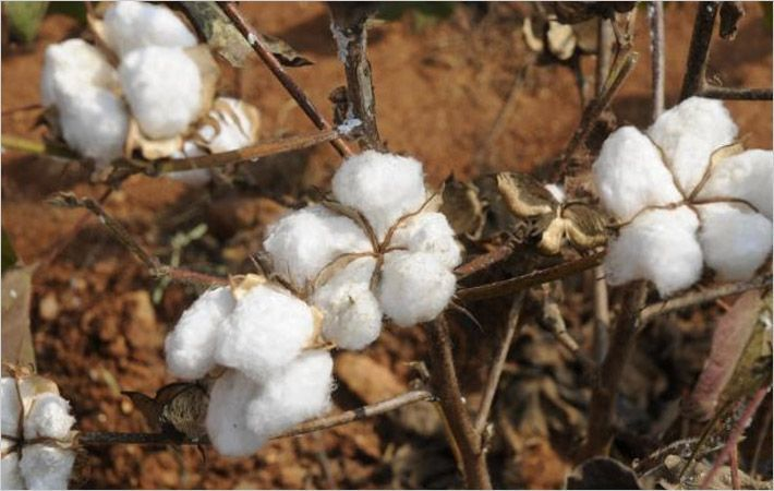 Cotton arrival down 25.68% y-o-y at ginneries in Pakistan