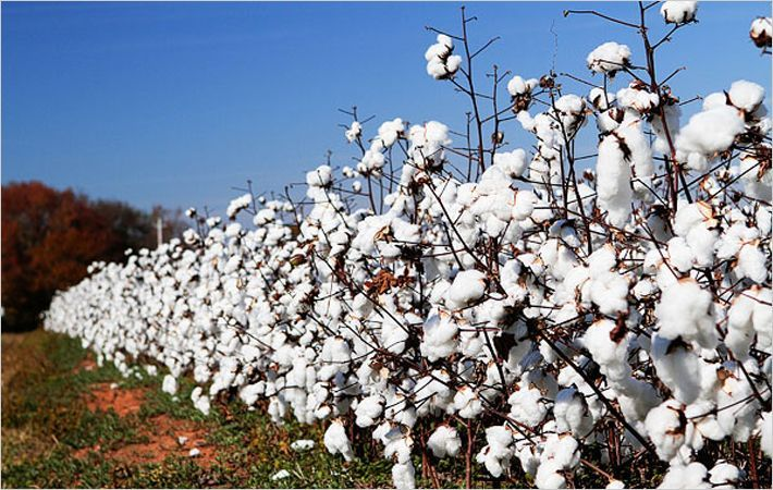 Brazilian cotton prices fall in November