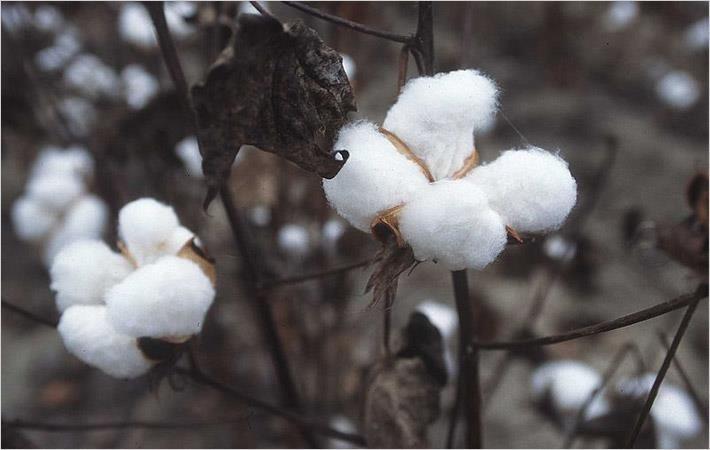 Burkina govt allocates $26.91mn to develop cotton sector