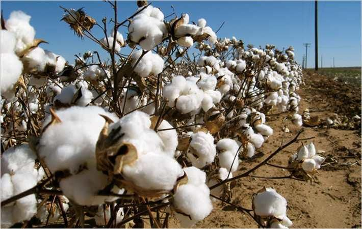 Cotton arrival at Pak ginneries up 7.88% this season