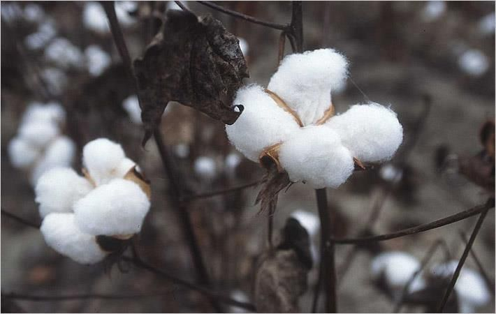 Over 1 mn cotton bales produced by US farms under BCI