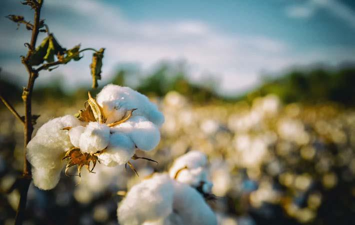 Cotton quotes continue to rise in Brazilian market