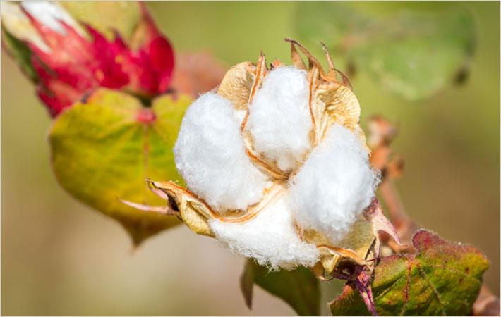 Kenyan agriculture agency supports growing GM cotton