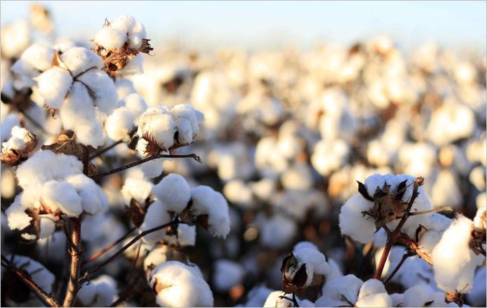 Indian govt raises MSP on cotton by ₹1,130/quintal