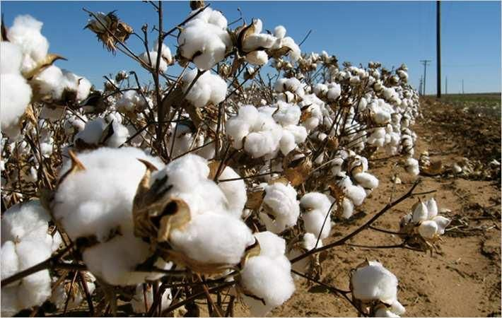 Cotton prices drop as supply up in Brazilian market
