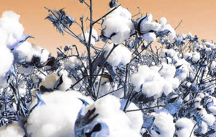 Telangana wants 25 CCI cotton purchase centres by Oct 10