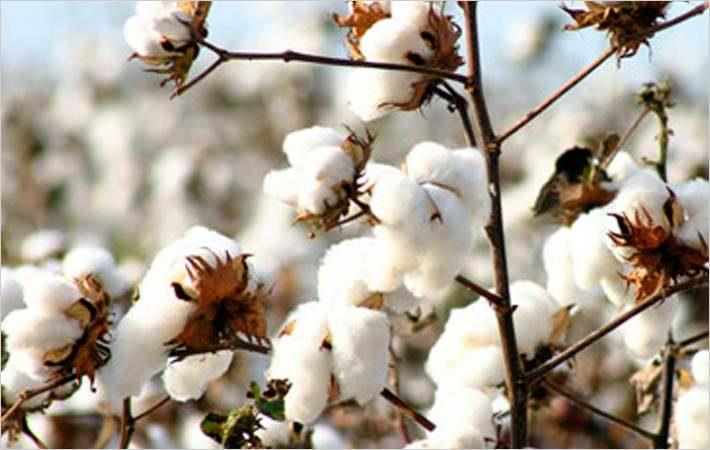 Brazilian cotton index drops; returns to mid-April level