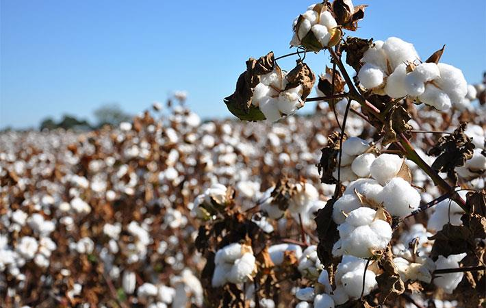 Azerbaijan may grow more coloured cotton if tests succeed