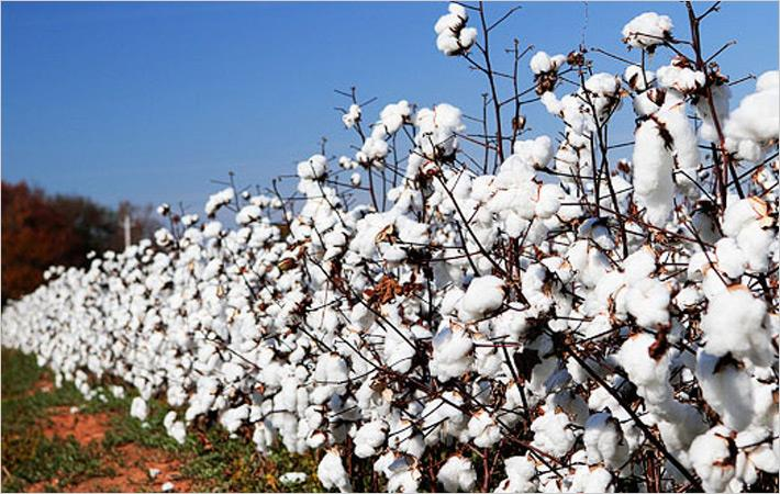 Brazilian cotton prices drop with buyers