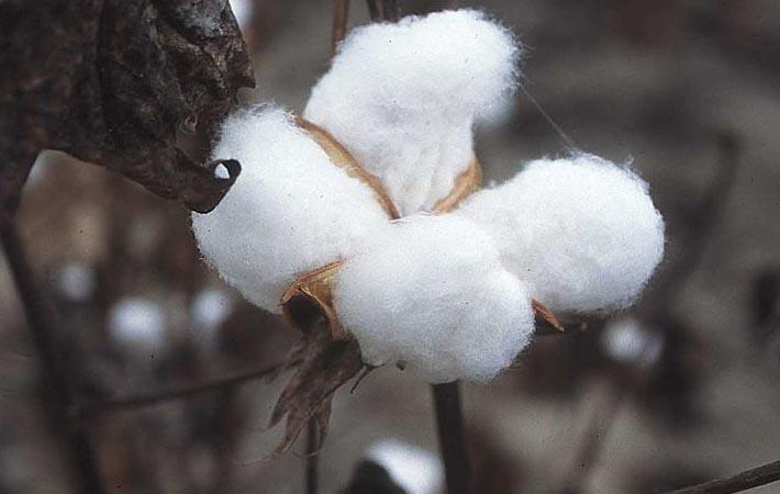 Albini, Supima and Oritain create 100% traceable cotton
