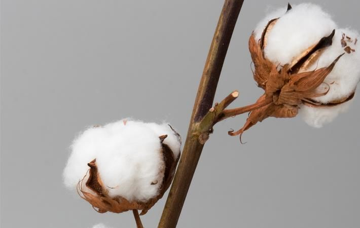 Results of Cameroon transgenic cotton trials by 2018 end