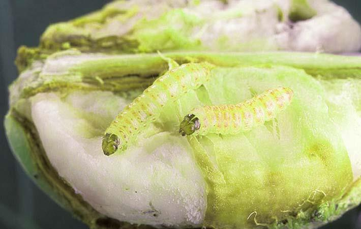 US cotton regions now free of pink bollworm