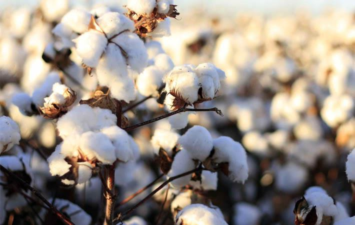 Cotonea is 4th largest producer of fair organic cotton