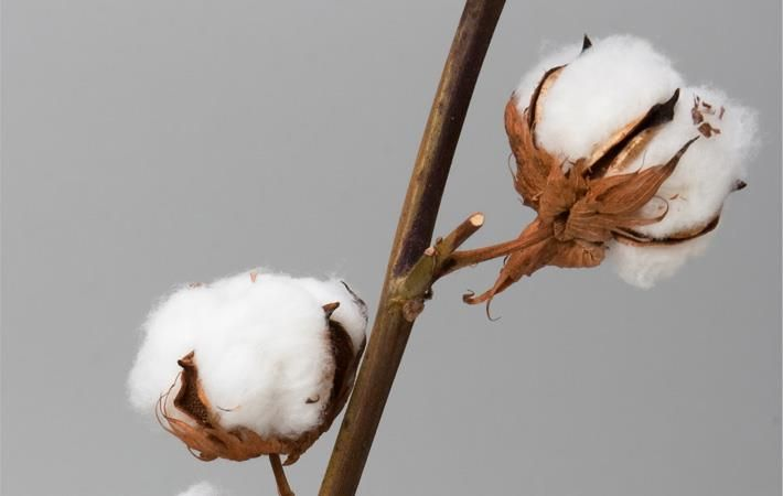 Absence of crop zoning hampers Pak cotton production