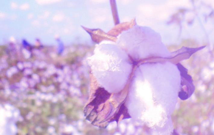 Courtesy: Cotton Egypt Association