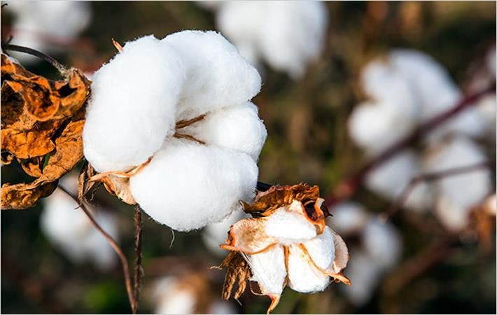 India needs to improve cotton yield: CAI
