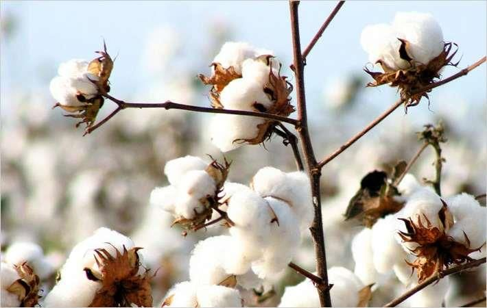 Brazilian cotton prices oscillate in November
