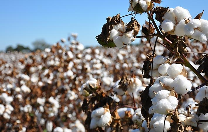 Cotton arrival at Pak ginneries down 6.83% as on Feb 15
