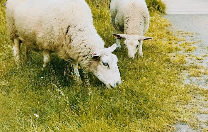 AWPFC downwardly revises 2018-19 wool output to 298 mkg