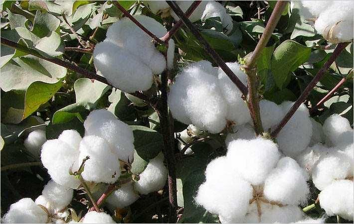Brazilian cotton index remains stable in April