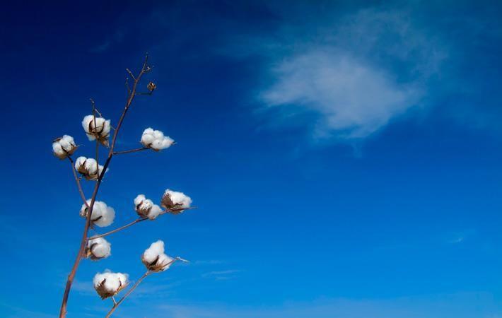 Pak making efforts to achieve target of 15 mn cotton bales