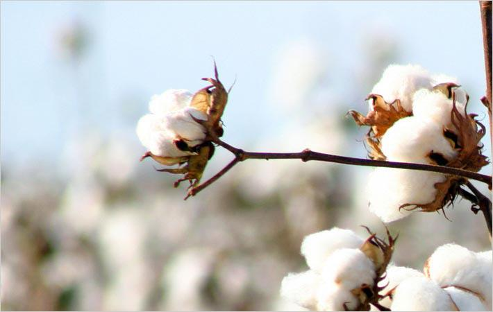 Cotton prices drop in Brazilian market as buyers retract