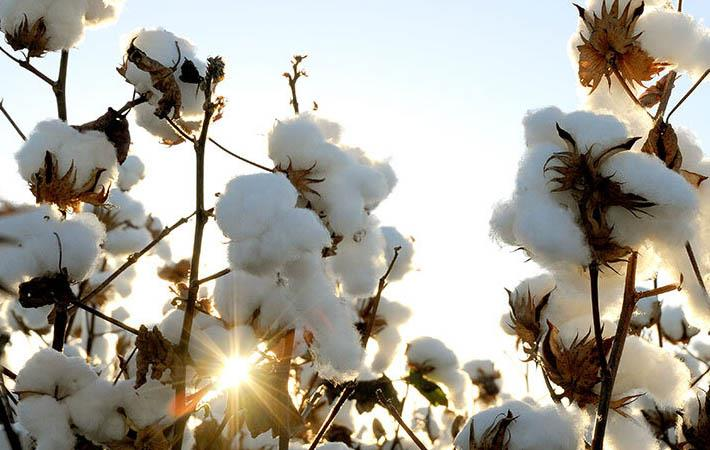 Pic: Cotton Australia